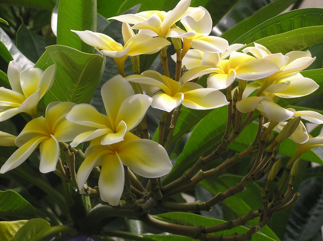 plumeria flowers maui tropical vacations