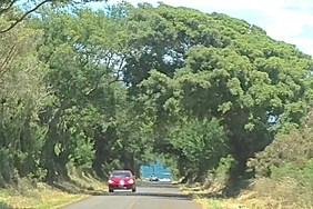 TREE TUNNEL ON MAUI